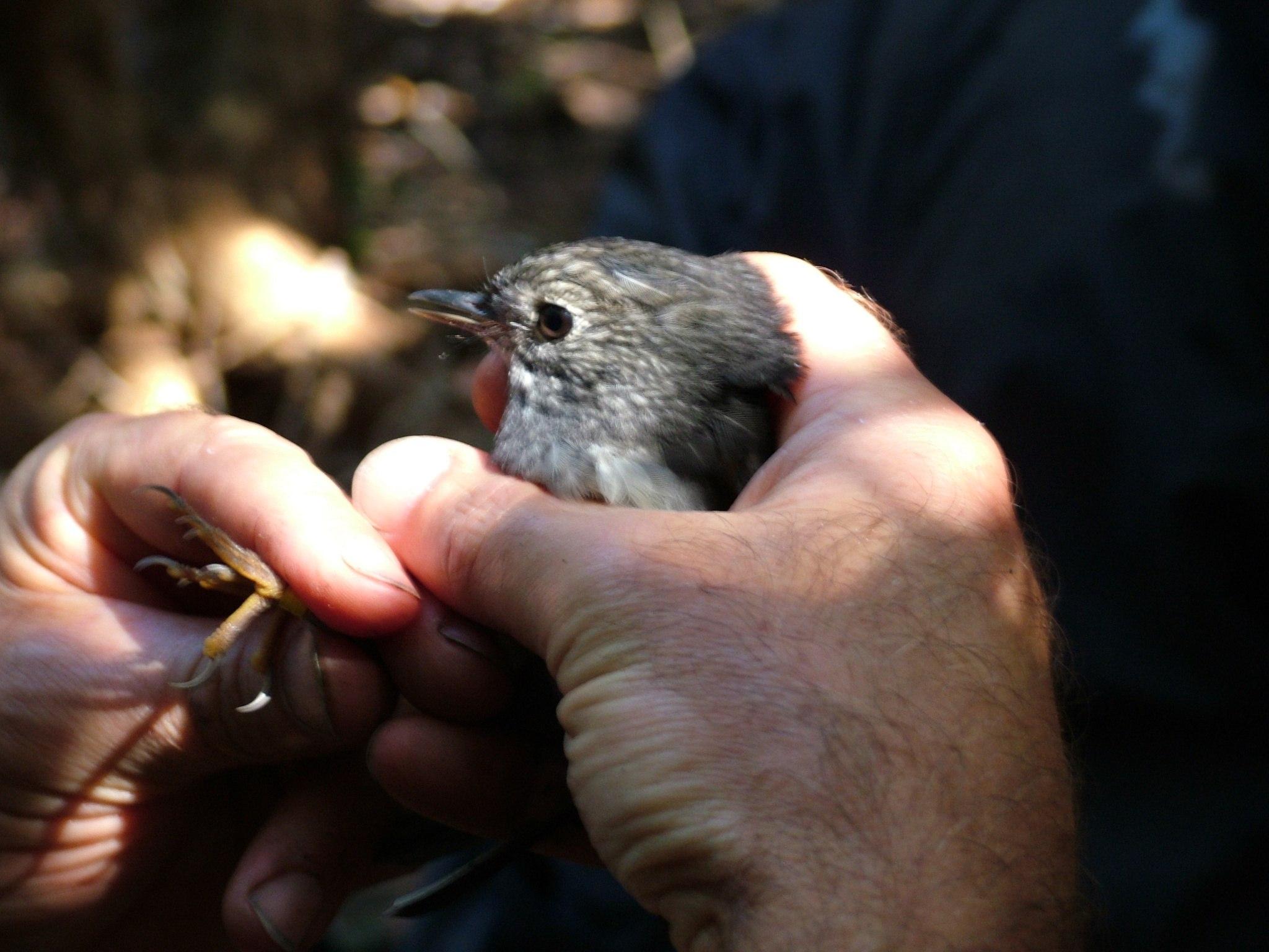 2004 - North Island Robin - Tiritiri Matangi to Windy Hill Sanctuary