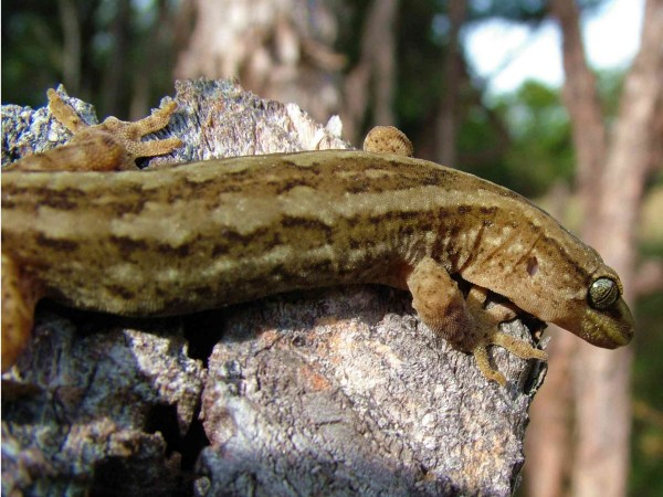Mokopapa - Pacific Gecko