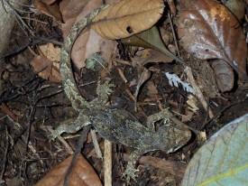 Mokomoko - Forest Gecko