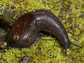 Paua Slug