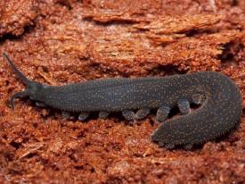 Peripatus (Onchophora)