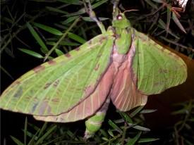 Pepetuna - Puriri Moth
