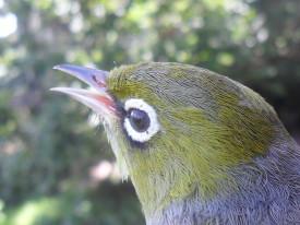 Tauhou - Silver Eye / Wax Eye