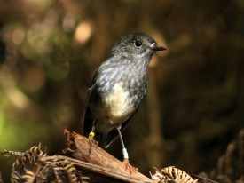 Toutouwai - North Island Robin